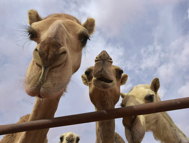Travel News - Camel beauty contest