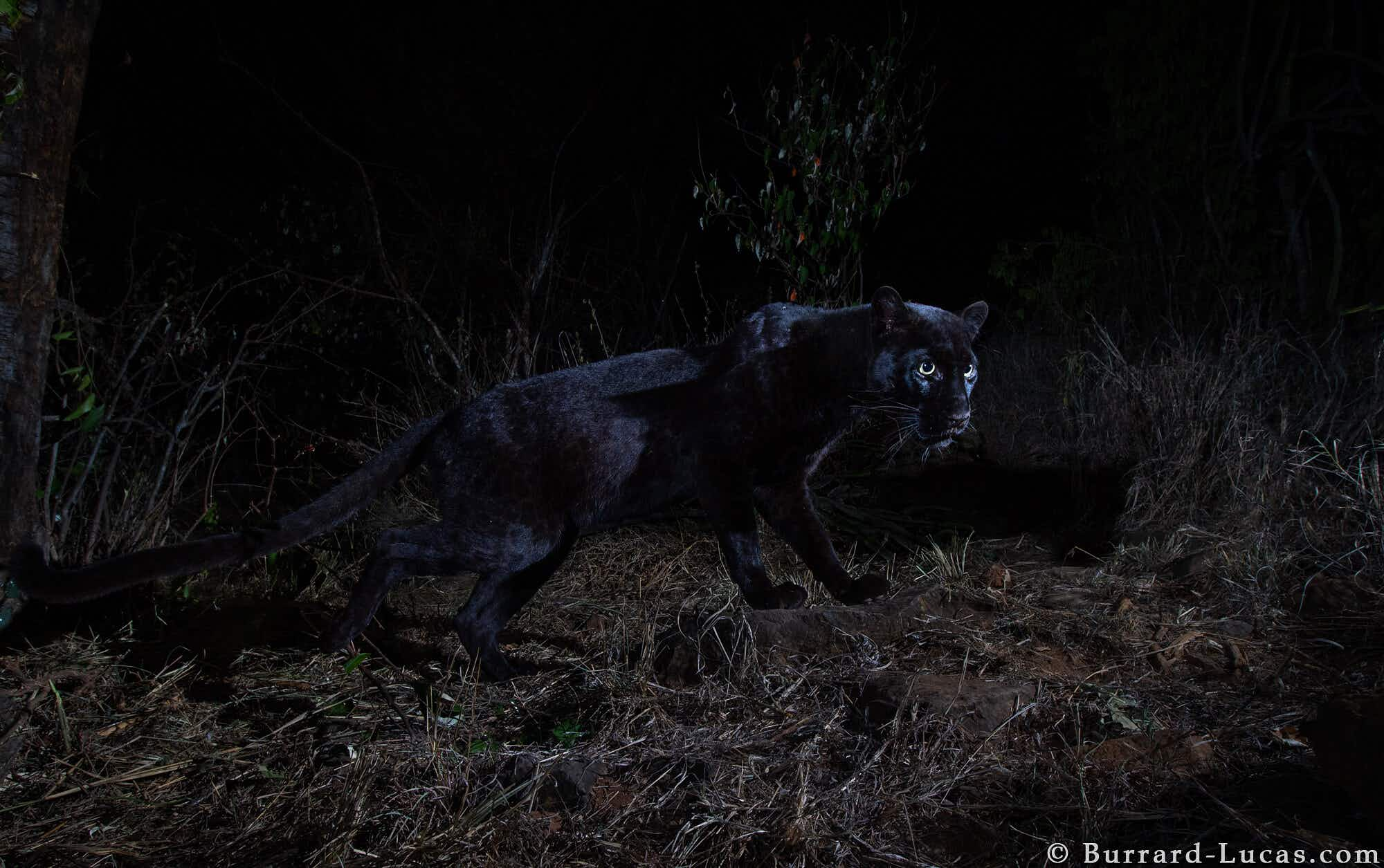 Africa's black leopard has been photographed perfectly for the first time