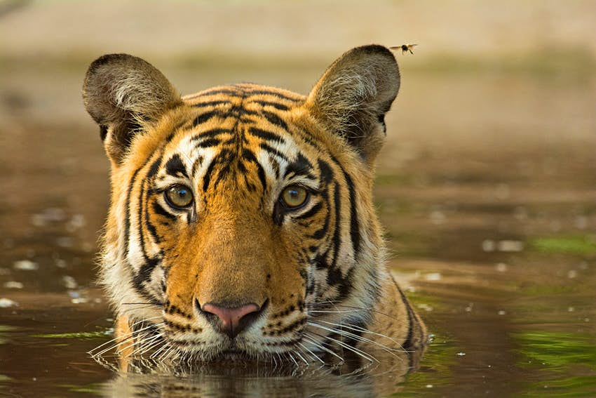 Travel News - ethical tigers