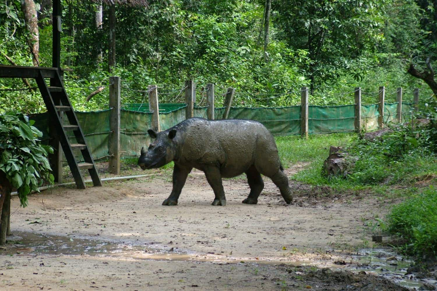 Efforts to save Sumatran rhinos as the last male in Malaysia dies