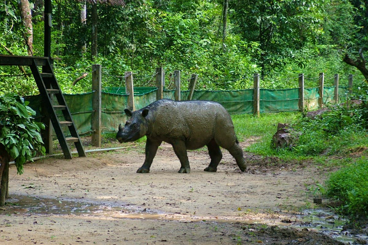 Efforts to save Sumatran rhinos as the last male in Malaysia dies