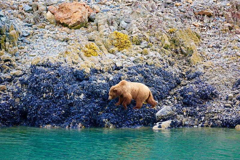 A brown bear on the rocks by the water in Alaska.