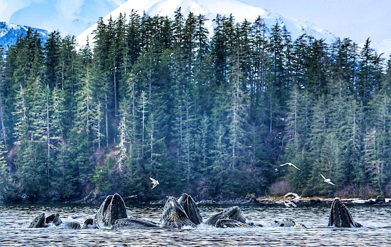 A pod of whales cast a bubble net in Alaskan waters