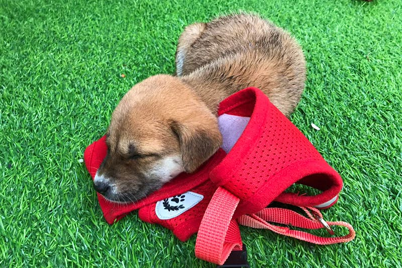 A puppy sleeping on the grass in a hotel in Bali.