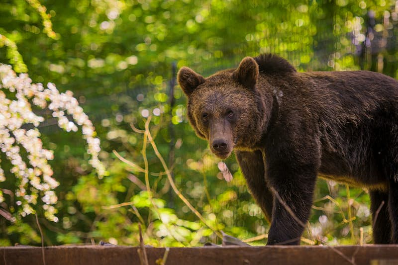Brown bears and grey wolves will return to this woodland in England - Lonely Planet