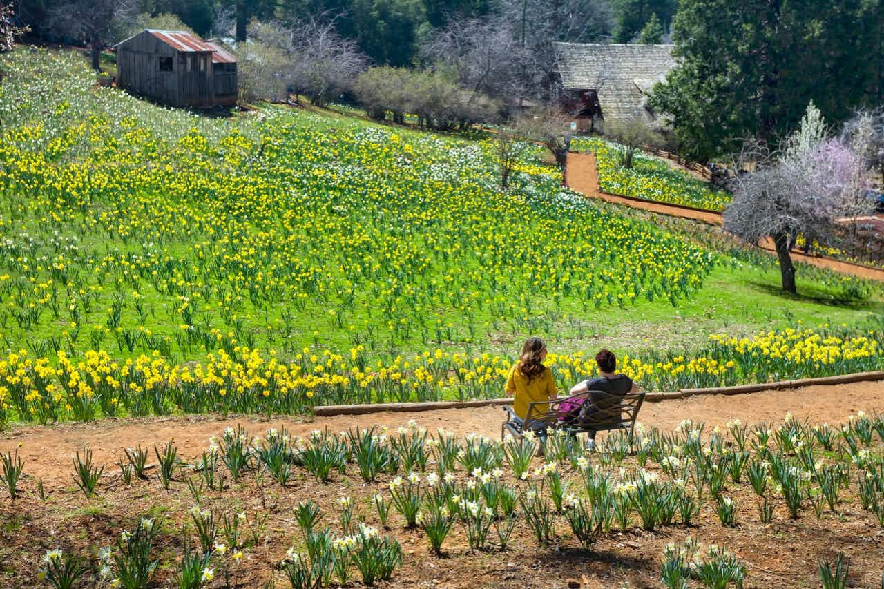 California's Daffodil Hill is so popular it's had to close to the public