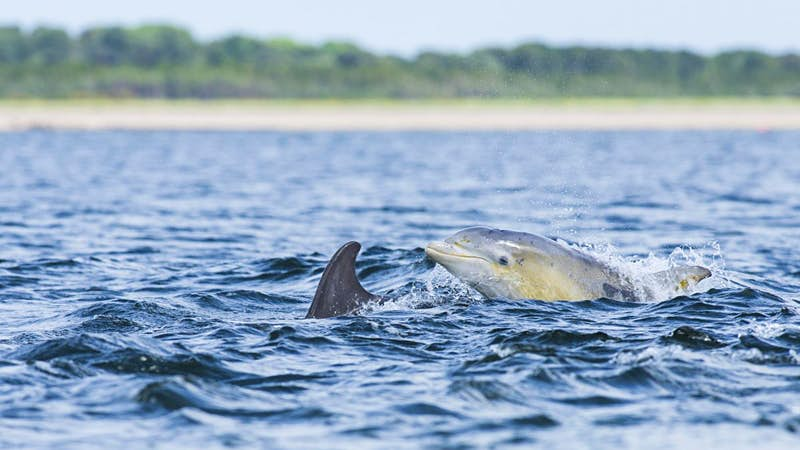 Travel News - Common bottlenose dolphin (Tursiops truncatus) in bay, Chanonry Point, Moray Firth, Inverness, Scotland, United Kingdom