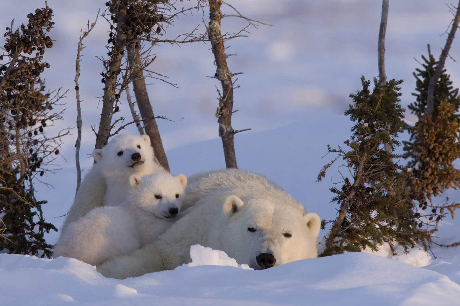Observe polar bears in the wild with this all-expenses paid trip to Manitoba