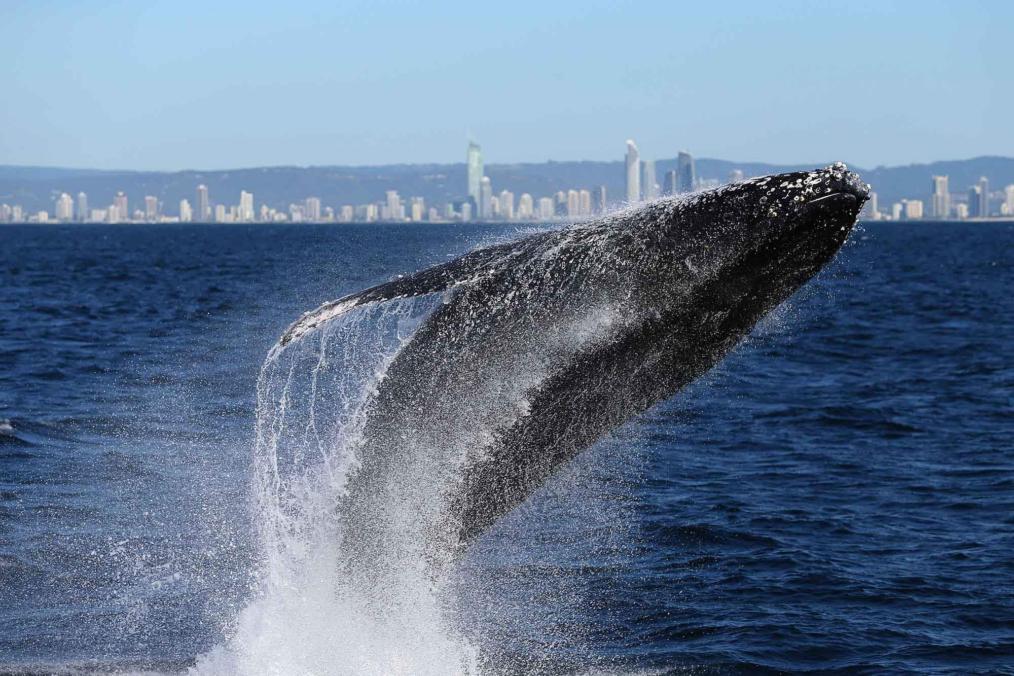 Australia's first Aboriginal owned whale-watching tour opens in Queensland