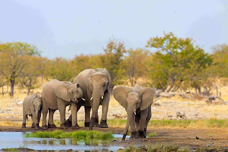 Travel News - Afrikanischer Elefant, Loxodonta africana,