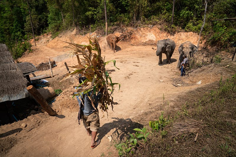 A man and two elephants at Camp Chill elephant-friendly camp in Thailand