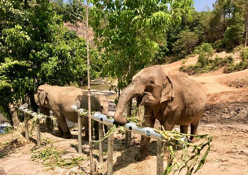 Two elephants eating at Camp Chill elephant-friendly camp in Thailand