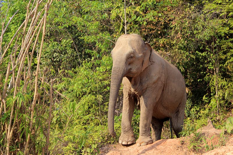 An elephant at Camp Chill elephant-friendly camp in Thailand