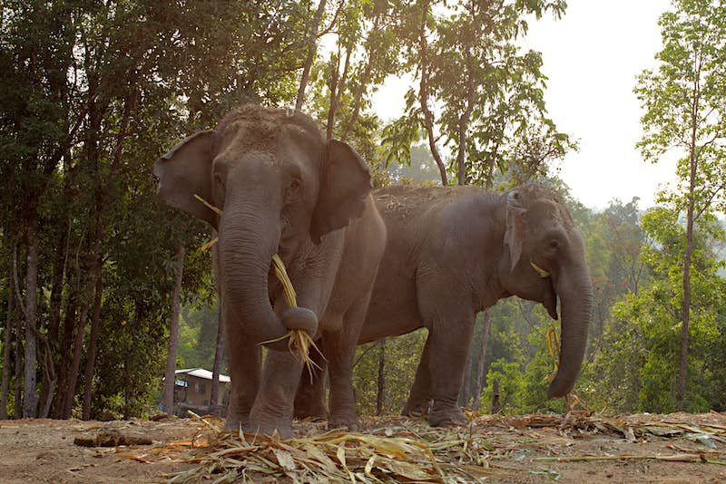 Two elephants at Camp Chill elephant-friendly camp in Thailand