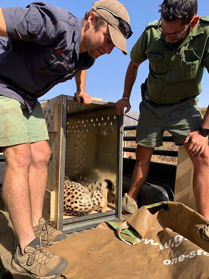 Two men transporting a cheetah to Malawi