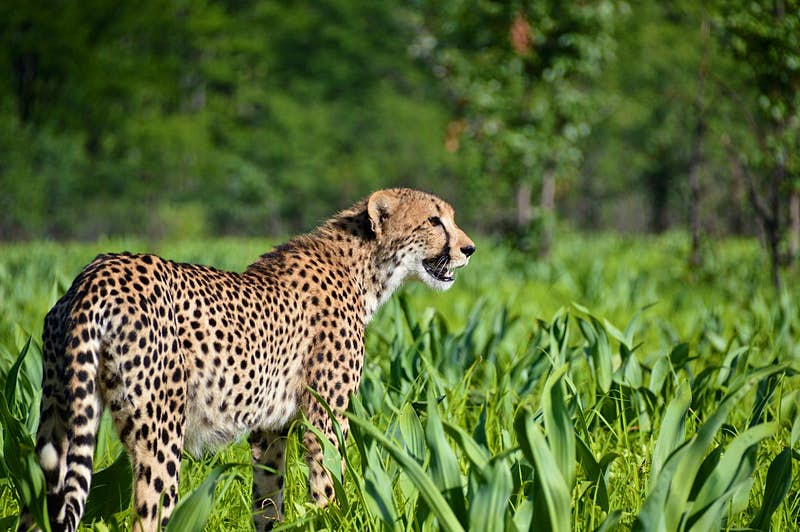 A cheetah standing in grass in Malawi