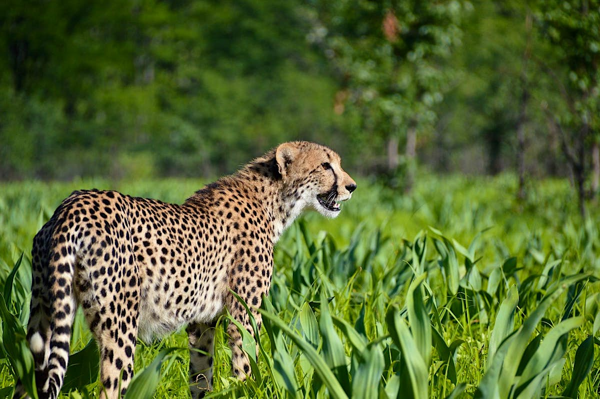 Cheetahs have been introduced to Malawi's Majete Wildlife Reserve