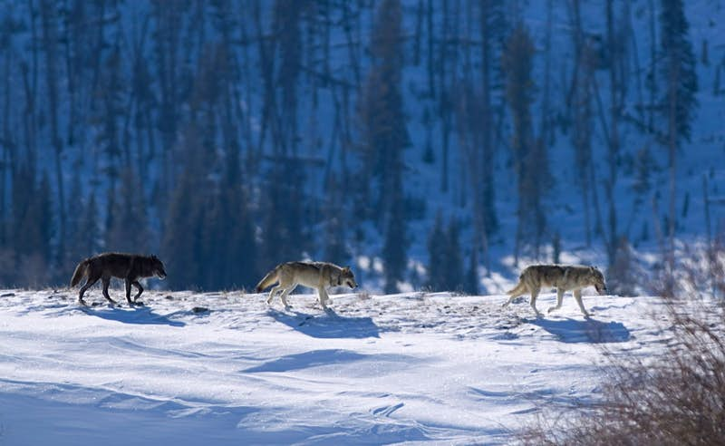 Three Druid timber wolves on snow in Yellowstone
