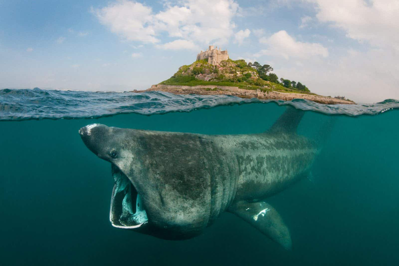 Secret lives of basking sharks captured on revolutionary 'SharkCam'
