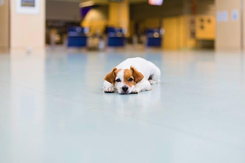 Dog relaxing on airport floor