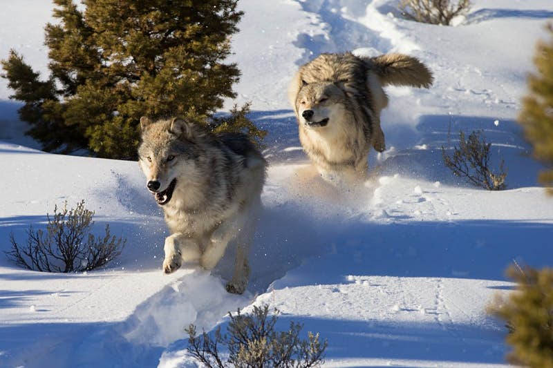 North American Grey Wolves running in snow.